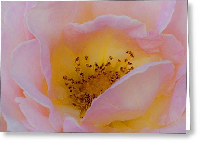 Canadian Photographer Greeting Cards - Softly Rose Greeting Card by Theresa Tahara