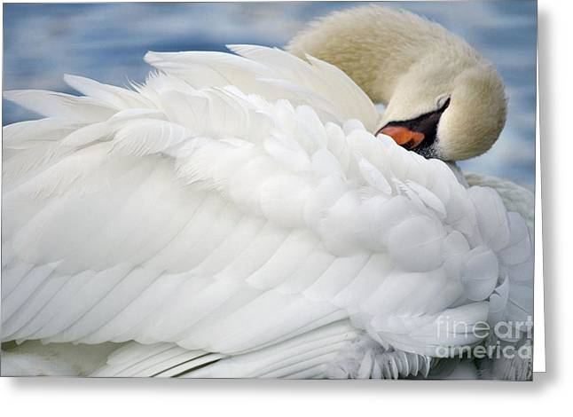Swans... Greeting Cards - Softly Sleeping Greeting Card by Deb Halloran