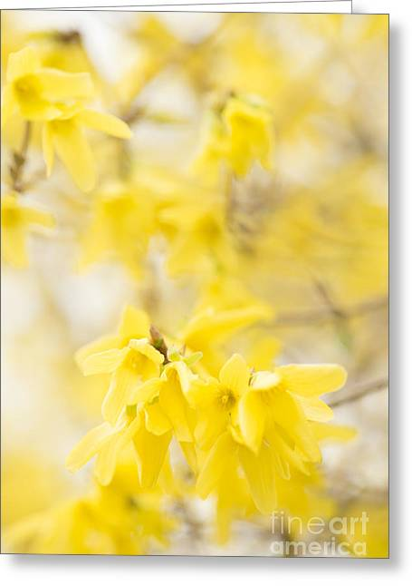 Close Focus Floral Greeting Cards - Softly Yellow Greeting Card by Anne Gilbert