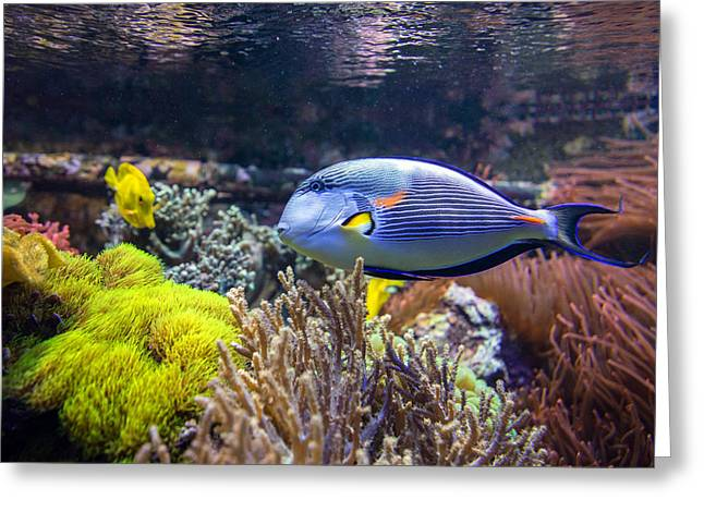 Surgeonfish Greeting Cards - Sohal Tang  Greeting Card by Mark Papke