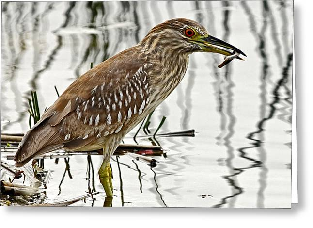 Solitary Juvenile Greeting Card by Dawn Currie