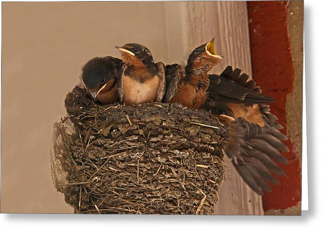 Swallow Chicks Greeting Cards - Solo Act Greeting Card by Mark Alder