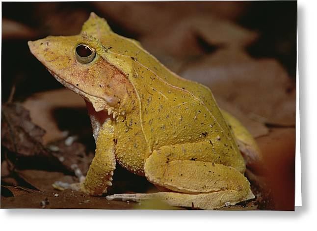 True Color Photograph Greeting Cards - Solomon Island Leaf Frog Greeting Card by Gerry Ellis