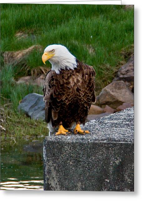 Somesville Maine Greeting Cards - Somesville Maine Bald Eagle Greeting Card by Debbie Lloyd