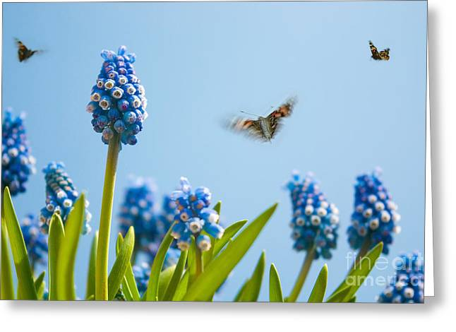 Grape Hyacinths Greeting Cards - Something in the air Greeting Card by John Edwards
