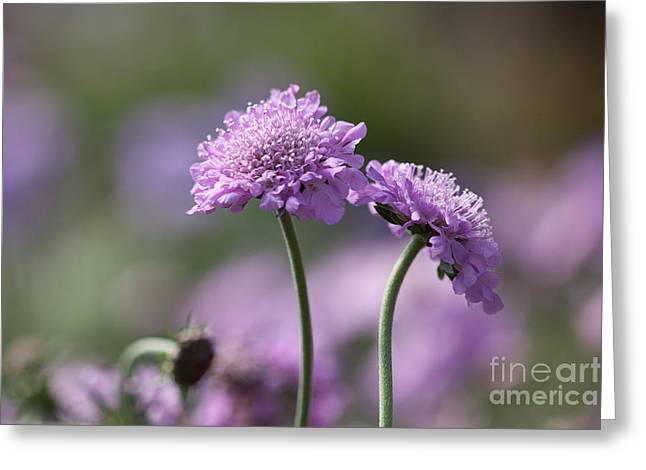 Pin Cushion Flower Greeting Cards - Sometimes When We Touch Greeting Card by Annette Weiner