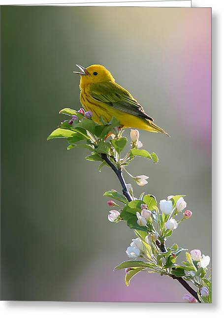 Yellow Warbler Greeting Cards - Song of Spring Greeting Card by Rob Blair
