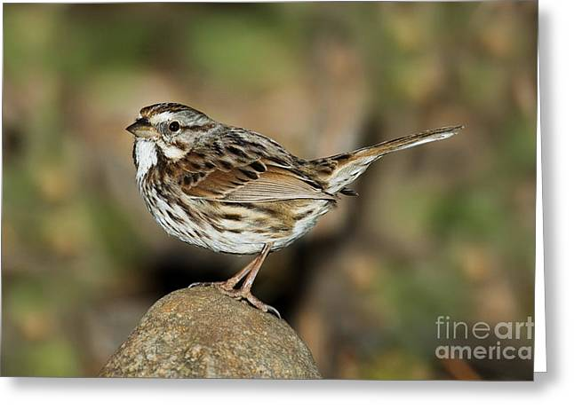 Song Sparrow Greeting Card by Anthony Mercieca