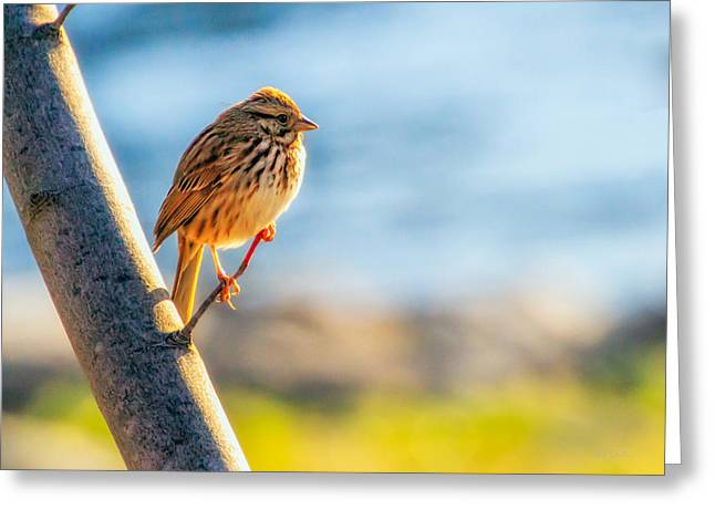 Sparrow Greeting Cards - Song Sparrow Greeting Card by Bob Orsillo