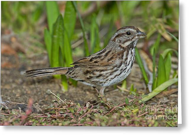 Song Sparrow Eating Seeds Greeting Card by Anthony Mercieca