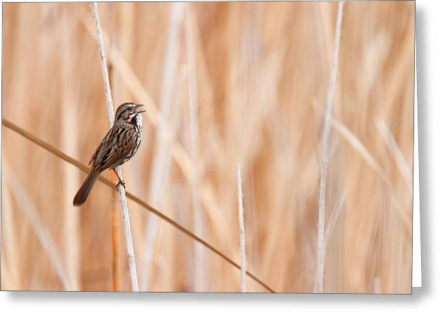 Zoology Greeting Cards - Song Sparrow Greeting Card by Ram Vasudev