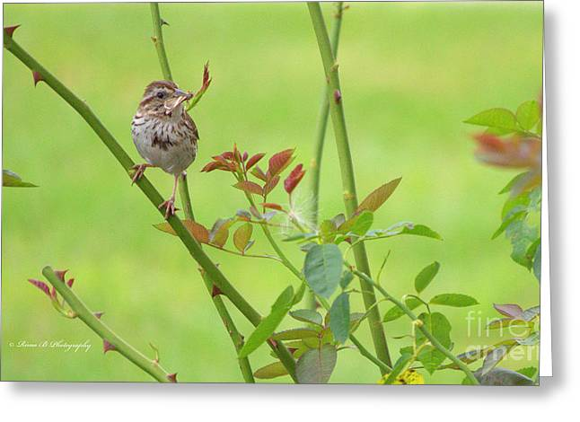 A Summer Evening Greeting Cards - Song Sparrow Greeting Card by Rima Biswas