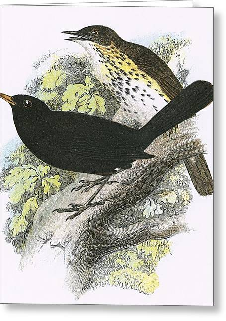 Thrush Greeting Cards - Song-thrush Top And Blackbird Bottom Greeting Card by English School
