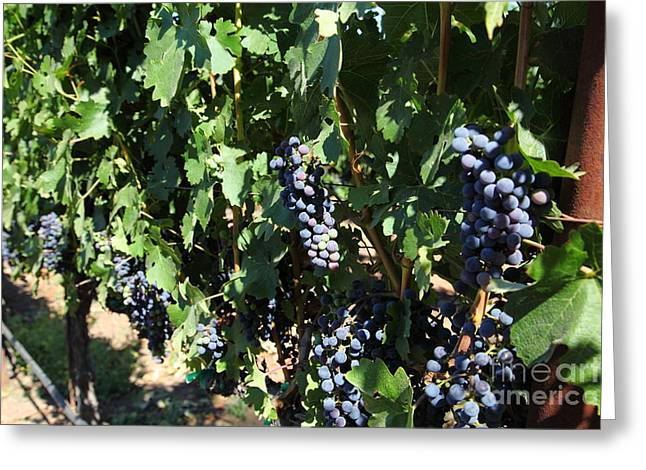 Pastoral Vineyard Greeting Cards - Sonoma Vineyards In The Sonoma California Wine Country 5D24629 Greeting Card by Wingsdomain Art and Photography