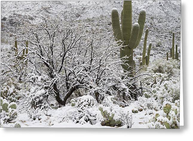 Snowstorm Greeting Cards - Sonoran Desert After Rare Snowstorm Greeting Card by John Shaw