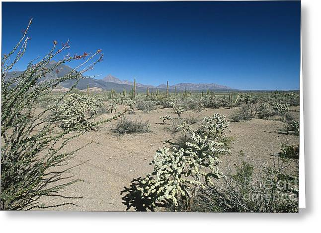 Wildlife Preserve Greeting Cards - Sonoran Desert, Baja California Sur Greeting Card by William H. Mullins