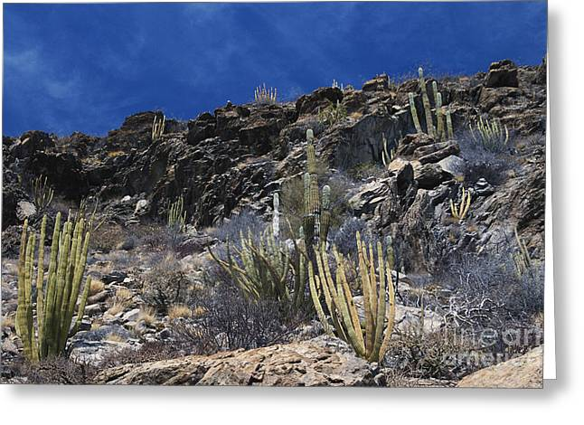 Caryophyllales Greeting Cards - Sonoran Desert, Mexico Greeting Card by William H. Mullins