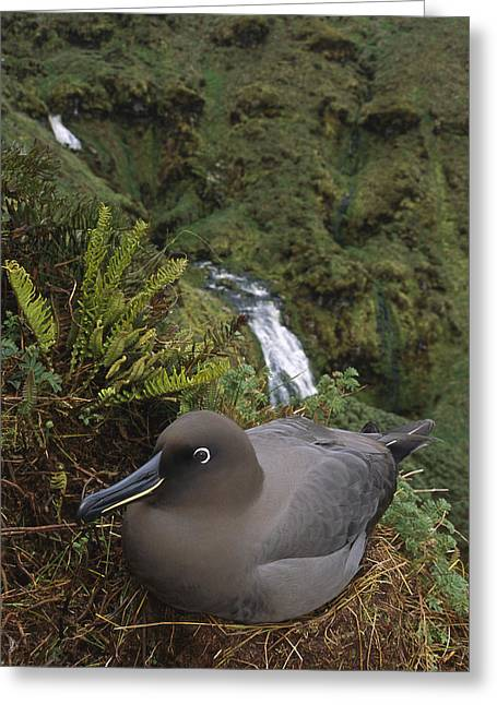 Diomedeidae Greeting Cards - Sooty Albatross Nesting On Cliff Edge Greeting Card by Tui De Roy