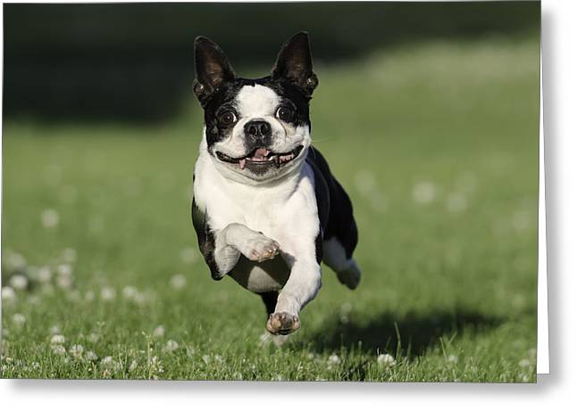Bully Greeting Cards - Sophie Flying  Greeting Card by Lisa Hufnagel