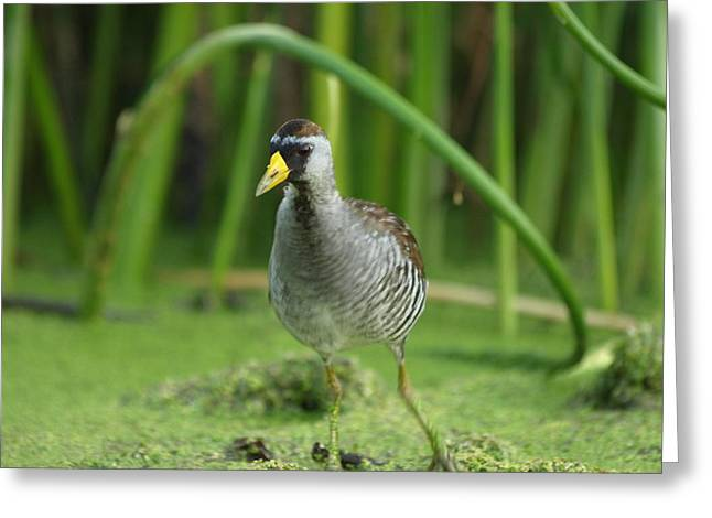 Peterson Nature Photography Greeting Cards - Sora Motion Portrait Greeting Card by James Peterson