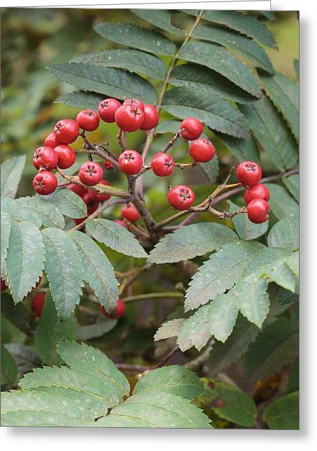 Bluish Green Greeting Cards - Sorbus decora Greeting Card by Science Photo Library