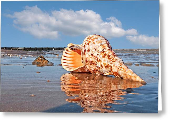Day At The Beach Greeting Cards - Sounds of the Ocean - Trumpet Triton Seashell Greeting Card by Gill Billington