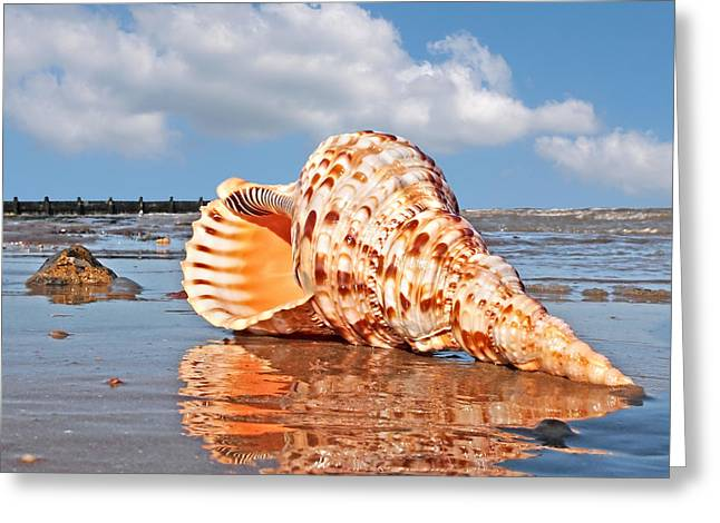 Day At The Beach Greeting Cards - Sounds of the Ocean - Trumpet Triton Seashell - Square Greeting Card by Gill Billington