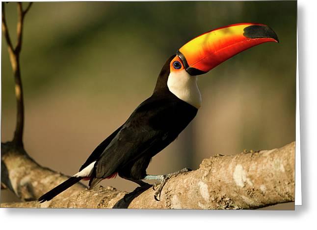 South America, Brazil, Pantanal, Mato Greeting Card by Joe and Mary Ann Mcdonald