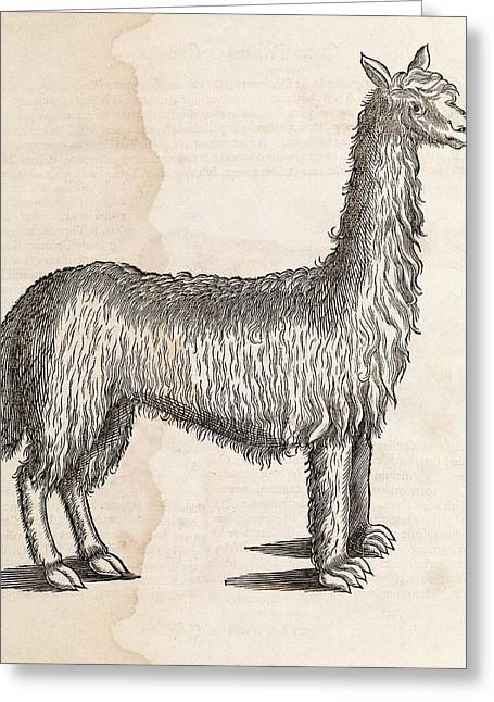 South American Camelid Greeting Card by Middle Temple Library
