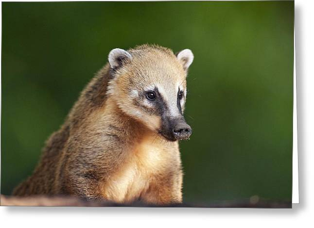 Ear Rings Greeting Cards - South American coati Greeting Card by Science Photo Library