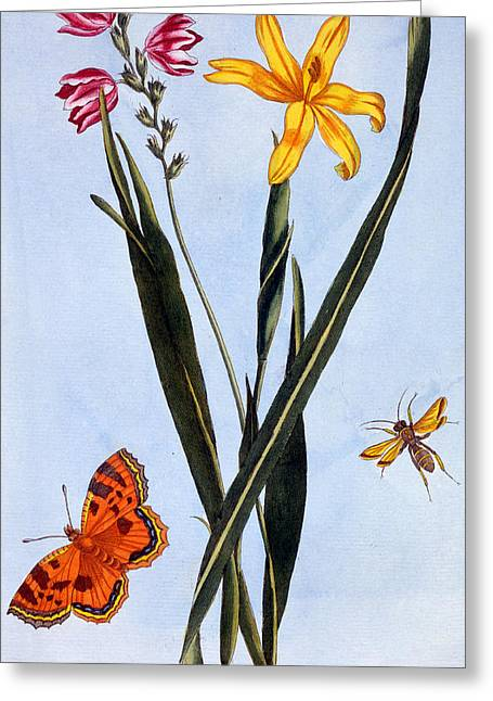 Flying Insect Greeting Cards - South American Ixia Greeting Card by Pierre Joseph Buchoz