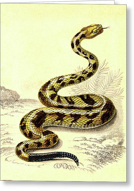 South American Rattlesnake Greeting Card by Collection Abecasis