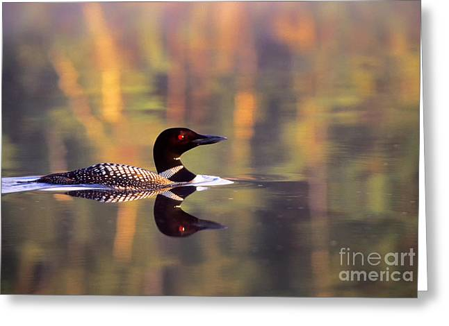 South Cove Loon Greeting Card by Jim Block
