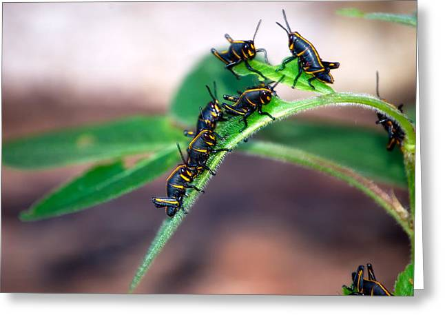 Romalea Microptera Greeting Cards - Southeastern Lubber Grasshopper Hatchlings Greeting Card by Rich Leighton