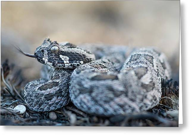 Southern Adder Greeting Card by Peter Chadwick