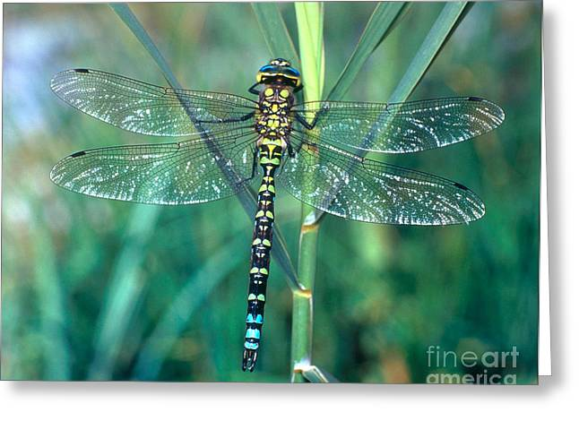 Blue Darner Dragonfly Greeting Cards - Southern Aeshna Greeting Card by Hermann Eisenbeiss