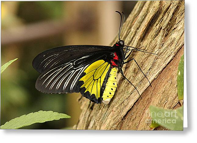 Eve Wheeler Greeting Cards - Southern Birdwing Butterfly H-1 Greeting Card by Eve Wheeler