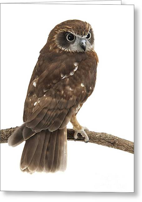 Australian Native Bird Greeting Cards - Southern Boobook On A Branch Greeting Card by Gerry Pearce