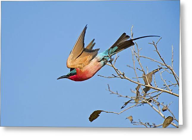 Southern Carmine Bee-eater Greeting Card by Science Photo Library