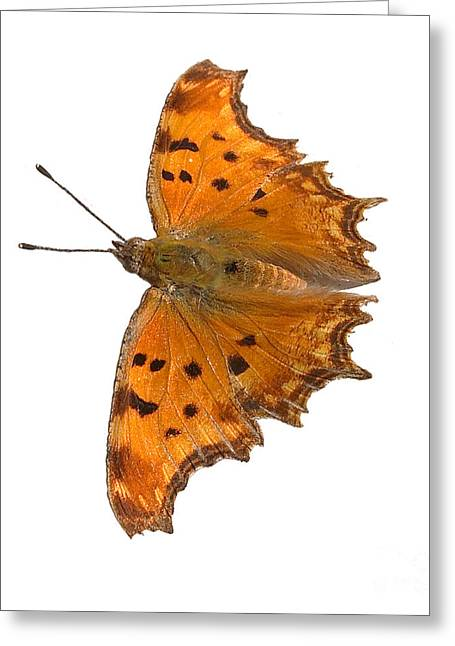 Greek Butterflies Greeting Cards - Southern Comma butterfly Greeting Card by Paul Cowan
