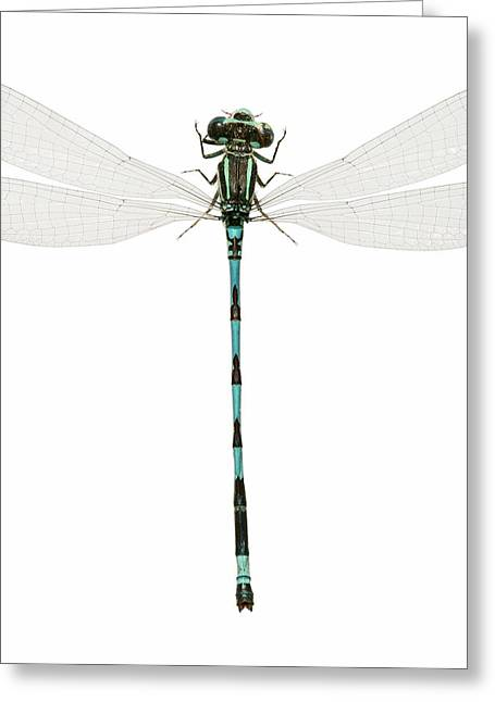 Southern Damselfly Greeting Card by Natural History Museum, London