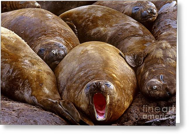 Ocean Mammals Greeting Cards - Southern Elephant Seal Greeting Card by Art Wolfe