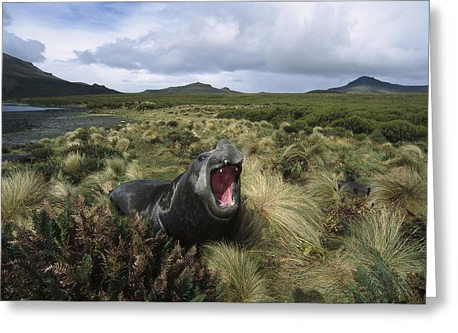 Elephant Seals Greeting Cards - Southern Elephant Seal Bull Campbell Greeting Card by Tui De Roy