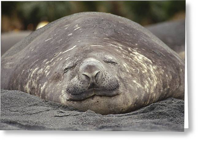 Elephant Seals Greeting Cards - Southern Elephant Seal Bull Sleeping Greeting Card by Tui De Roy