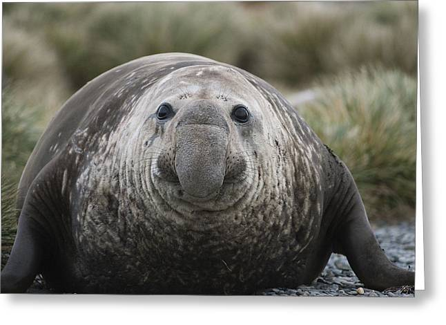 Elephant Seals Greeting Cards - Southern Elephant Seal Bull South Greeting Card by Flip Nicklin