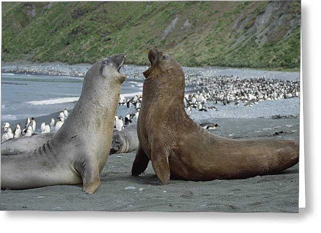 Elephant Seals Greeting Cards - Southern Elephant Seal Bulls Fighting Greeting Card by Konrad Wothe