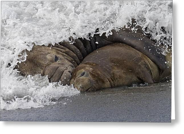 Elephant Seals Greeting Cards - Southern Elephant Seal Embracing Greeting Card by Roger Tidman
