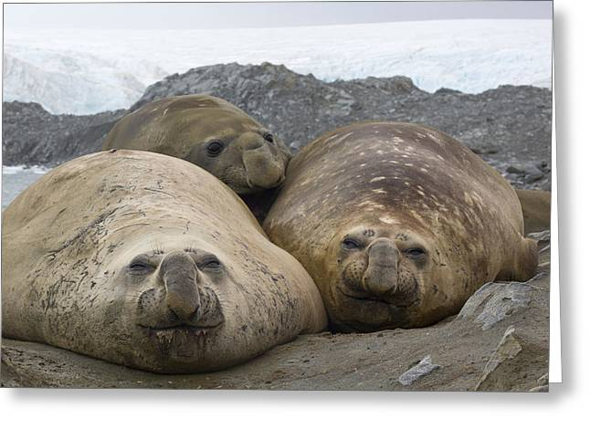 Elephant Seals Greeting Cards - Southern Elephant Seal Females Greeting Card by Matthias  Breiter