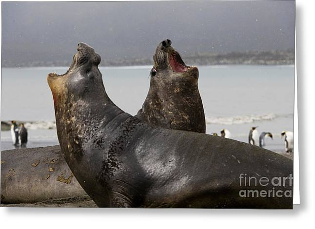 Elephant Seals Greeting Cards - Southern Elephant Seal Greeting Card by John Shaw