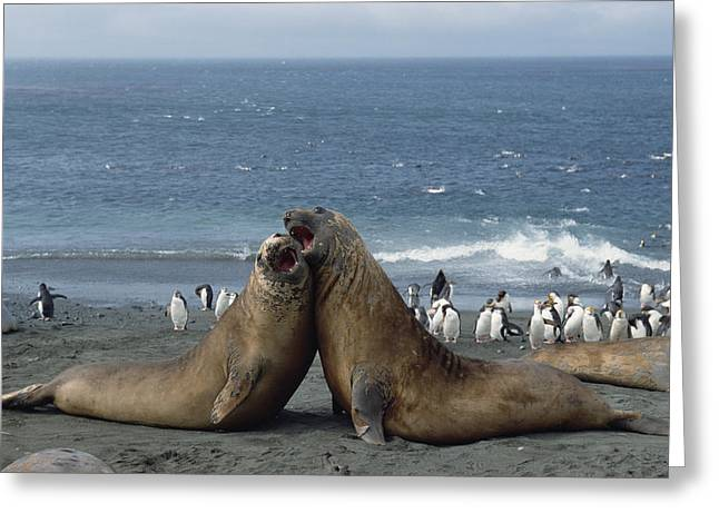 Elephant Seals Greeting Cards - Southern Elephant Seal Males Fighting Greeting Card by Konrad Wothe